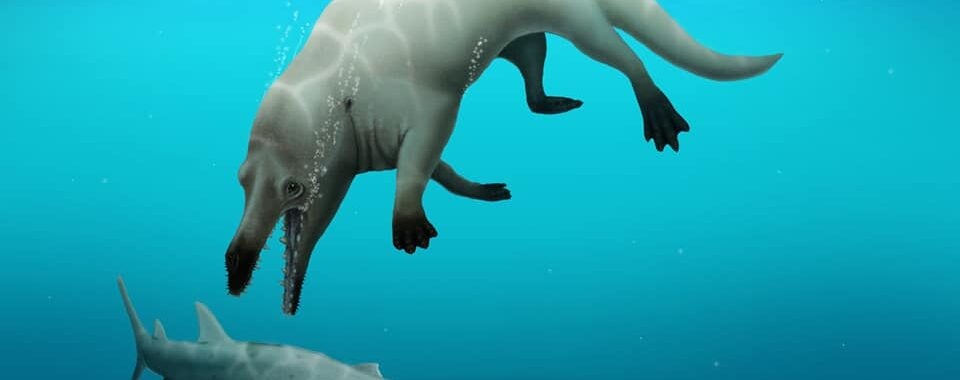 Q&A: How an Egyptian research team discovered a new species of 4-legged whale