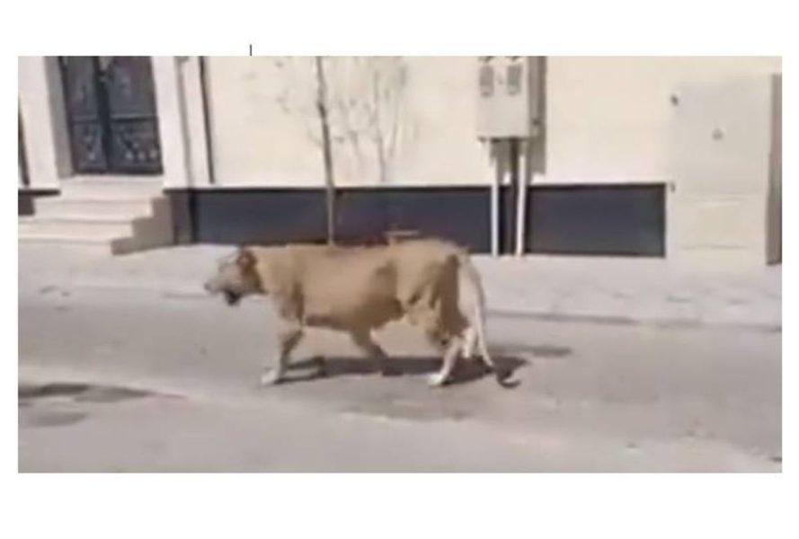 Residents panic as lion roams free in Saudi's Al-Khobar region
